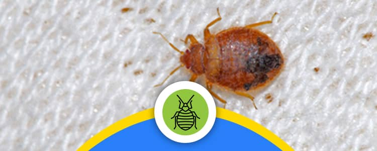 Bed Bug Control Braddon