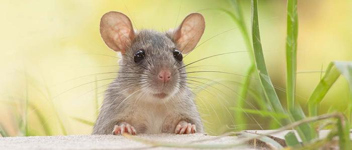 Rodent Control Braddon