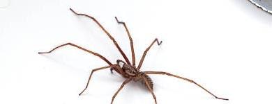 Spider Control Braddon